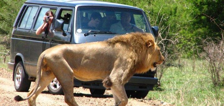 Leon frente a un auto en Sudafrica